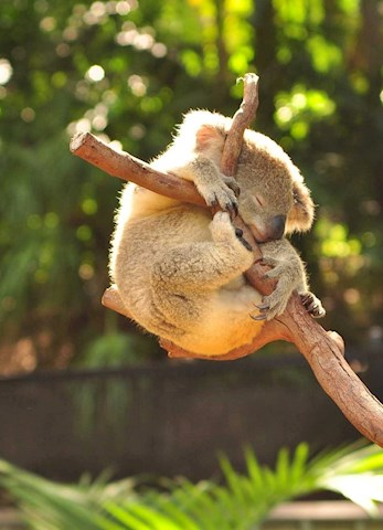Learn all about the koalas at WILD LIFE Hamilton Island family packages