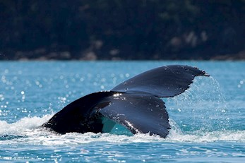 Humpback Whale in the crystal clear waters around the popular tourist summer destination Hamilton Island, Australia
